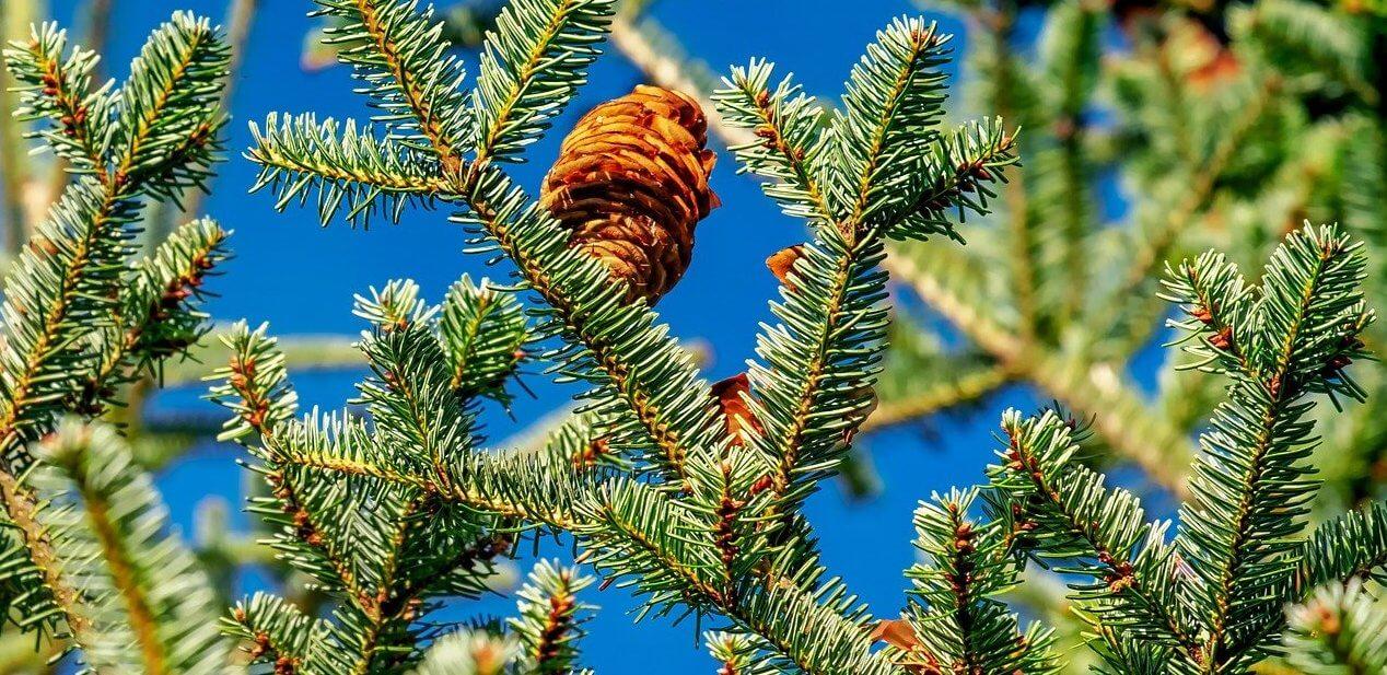 Weihnachtsbäume – Den richtigen finden.
